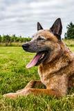 Cão feliz na grama Fotografia de Stock Royalty Free