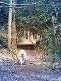 Cão feliz nas madeiras Imagens de Stock
