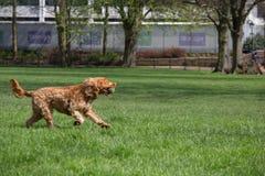 Cão feliz que corre com uma bola de tênis fotos de stock royalty free
