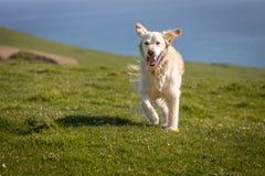 Cão feliz que corre no campo superior do penhasco foto de stock