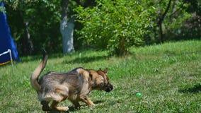 Cão feliz que joga com bola video estoque