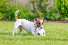 Cão feliz que joga fora, Foto de Stock Royalty Free