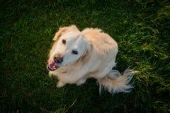 Cão feliz que olha acima no campo no por do sol Foto de Stock Royalty Free