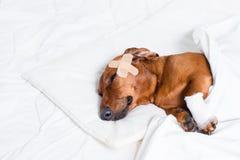 Cão ferido Foto de Stock Royalty Free