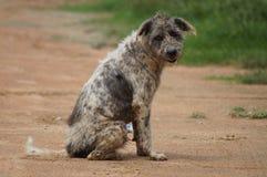 Cão feroz Foto de Stock