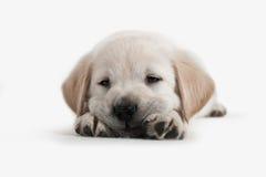 Cão - filhote de cachorro do Retriever dourado Fotos de Stock Royalty Free