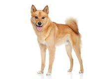 Cão finlandês do spitz Fotografia de Stock Royalty Free