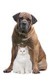 Cão forte e um gato da mostra Fotos de Stock Royalty Free