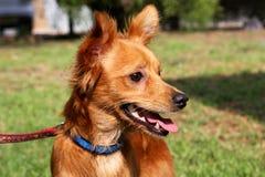 Cão Foxy Imagens de Stock Royalty Free