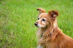 Cão Foxy no jardim Fotos de Stock Royalty Free