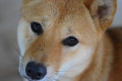 Cão foxy vermelho imagens de stock