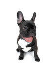 Cão francês de Bull foto de stock