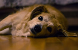 Cão furado Fotos de Stock Royalty Free