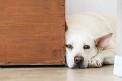 Cão furado que encontra-se no assoalho Imagens de Stock