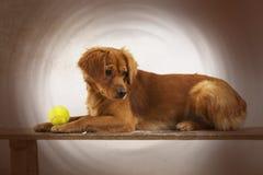Cão Galgo dachshund pet pets Persiga o jogo Alimento do Dod Animalia animal canis canine Bola Cão que joga com bola foto de stock