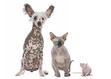 Cão, gato e rato despidos Foto de Stock