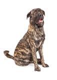 Cão gigante bonito da raça Imagens de Stock Royalty Free