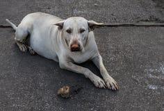 Cão gordo da rua com o nariz vermelho como o palhaço Imagens de Stock Royalty Free