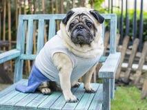 Cão gordo do pug Fotografia de Stock