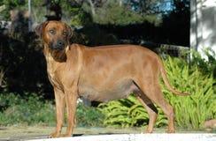 Cão grávido Imagens de Stock