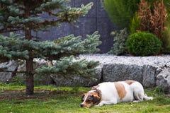 Cão grávido Fotos de Stock Royalty Free