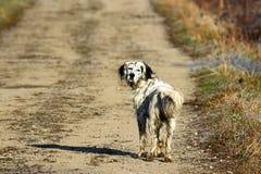 Cão grávido Imagem de Stock