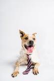 Cão grande adorável com um laço imagens de stock royalty free