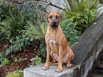 Cão grande feliz bonito que senta-se na escadaria de pedra que olha a câmera com as plantas no fundo foto de stock royalty free