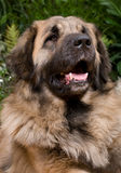 Cão grande Leonberger Fotos de Stock Royalty Free