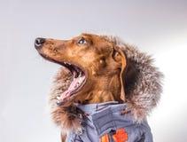 Cão gritando Fotos de Stock