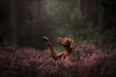 Cão húngaro da raça O animal de estimação dá a pata nas flores verão imagens de stock royalty free