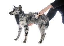 Cão húngaro de escovadela imagem de stock