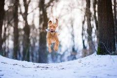 Cão húngaro de voo do ponteiro do vizsla na neve Imagens de Stock