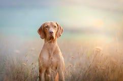 Cão húngaro do vizsla do ponteiro do cão no tempo do outono no campo foto de stock