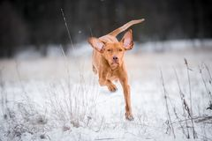 Cão húngaro feliz do ponteiro do vizsla na neve Foto de Stock
