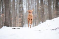 Cão húngaro running do ponteiro do vizsla na neve Fotos de Stock