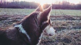 Cão hasky meu pôr do sol doce do frend Fotos de Stock Royalty Free