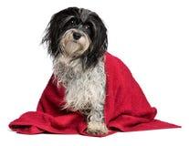 Cão havanese molhado com uma toalha vermelha Imagem de Stock Royalty Free