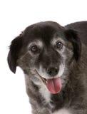 Cão idoso feliz imagem de stock royalty free