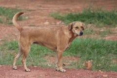 Cão indiano da rua no parque foto de stock
