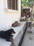 Cão indiano dentro fora da casa Imagem de Stock Royalty Free