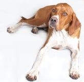 Cão inglês do ponteiro fotos de stock