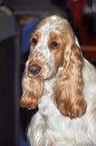 Cão inglês do Spaniel de Cocker foto de stock