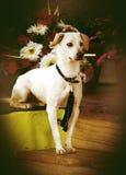 Cão inteligente Fotos de Stock Royalty Free