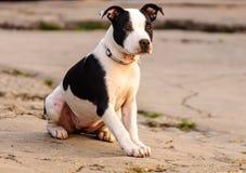 Cão interessado Imagem de Stock Royalty Free
