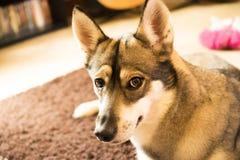 Cão interno Imagens de Stock Royalty Free
