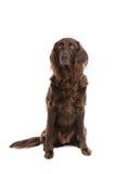 Cão irlandês do setter vermelho Fotografia de Stock