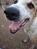 Cão irritado foto de stock royalty free
