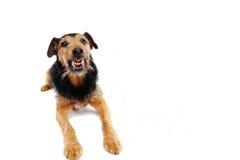 Cão irritado Fotografia de Stock Royalty Free