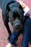 Cão irritado Fotografia de Stock